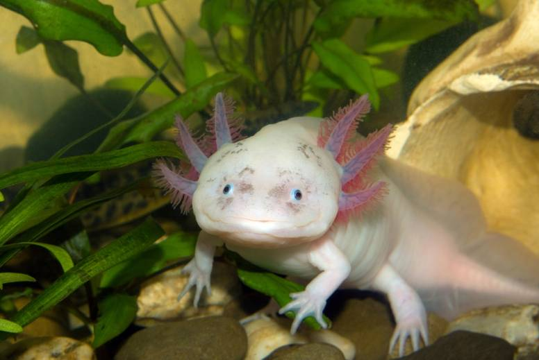 Axolotl, Hewan Imut Menyerupai Ikan Memiliki Sepasang Kaki Dan Tangan