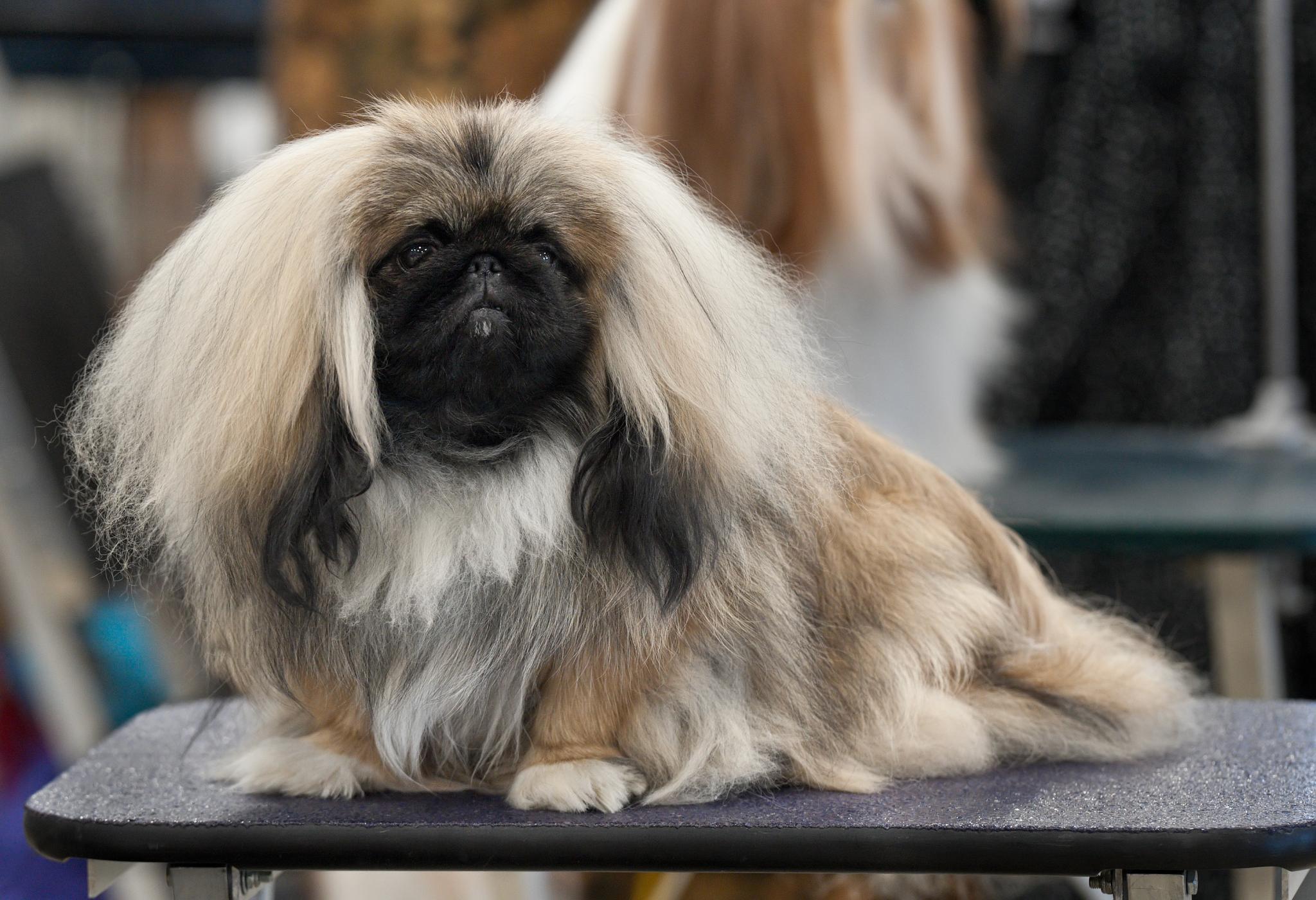 Mengenal Pekingese, Anjing Barongsai Imut Dari Cina